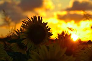 Sunflower on fire by nicubunu