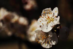 Just blossom by nicubunu