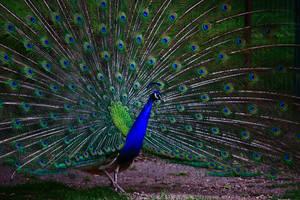 Peacocking by nicubunu