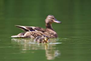 Duckling encounter by nicubunu