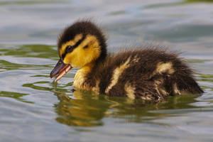 Close duck by nicubunu