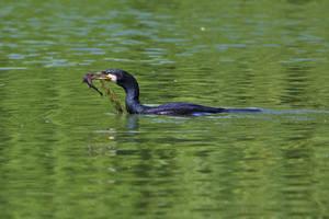 Cormorant eating by nicubunu