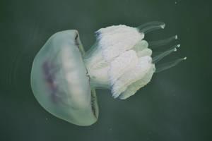 Big jellyfish by nicubunu