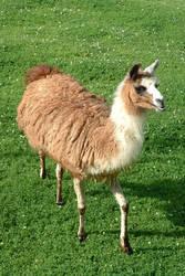 The Llama by kellylynn