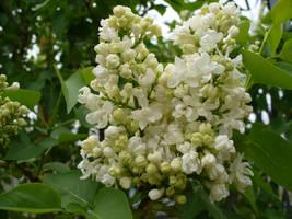 Lilacs by Toranih-stock