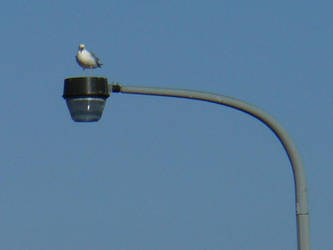 Seagull on a Lamp Post by Toranih-stock