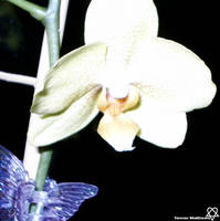 Orchid Flower by airenaki
