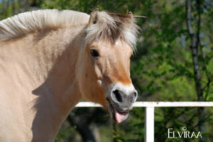 Fjord Horse by elviraa