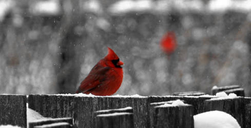Cardinal on a snowy day by mrthis