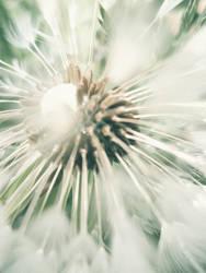 dandelion by busangane
