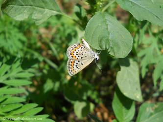Polyommatus icarus by The-Nunnally