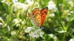 Lycaena thersamon by The-Nunnally