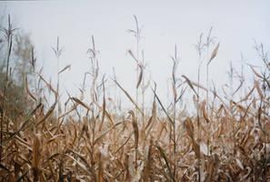 crispy corn field 2 by kitleen