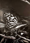 Butterfly by BuzzyBuzz
