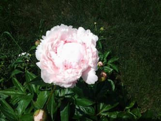 A singale pink summer bloom by Fire-Aqua-Stars97