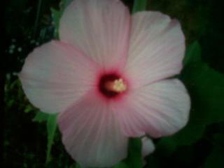 Pink hibiscus by Fire-Aqua-Stars97