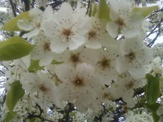 Bloom white by Fire-Aqua-Stars97
