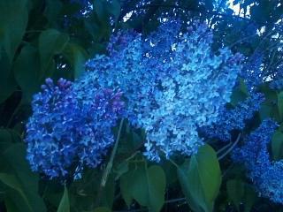 Purple bloom by Fire-Aqua-Stars97
