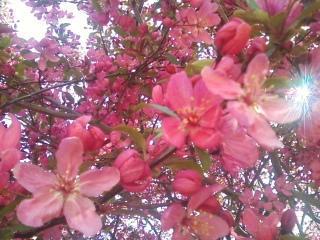 full pink bloom by Fire-Aqua-Stars97