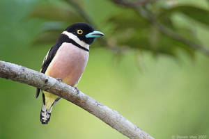 Black and Yellow Broadbill 01 by garion