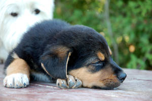 Rottweiler Puppy 6 by CanuckZD