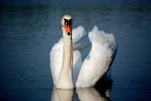 Swan by bianco-c