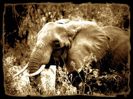 elephant by aliecatrose