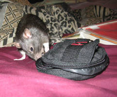 Ollie by Alpha-Rat