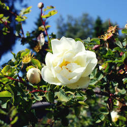 Yellow white rose by juliagolden