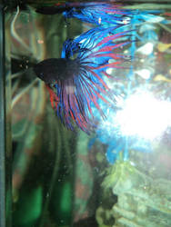 Fighter fish Beauty by Miacat-Millie