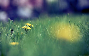 Dreamy Dandelions by nprkr