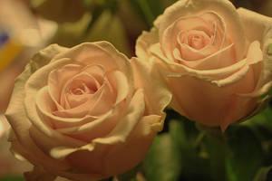 rose twins by marob0501