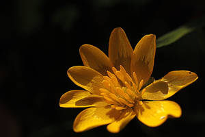 speenkruid pilewort by marob0501