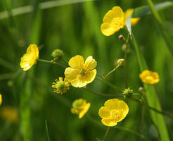 ranunculus acris by marob0501