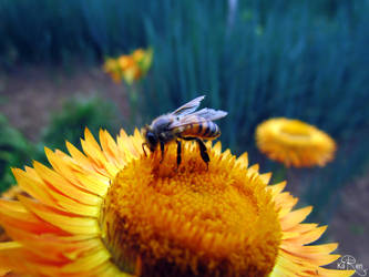 Bee by KaryBarahona