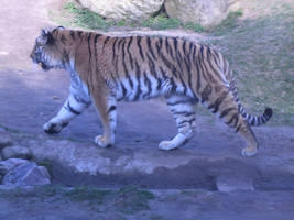 Siberian Tiger by ArcticIceWolf