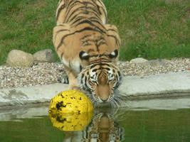 Drinking Tiger by ArcticIceWolf