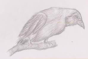 Hooded Crow by ArcticIceWolf