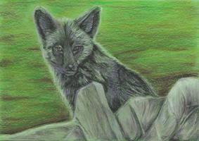 Curious Silver Fox by ArcticIceWolf