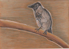 Draw a Bird Day: Hooded Crow by ArcticIceWolf