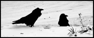 ravens in the snow by heavyteeth