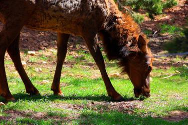 Elk Grassing by SergeiDJW