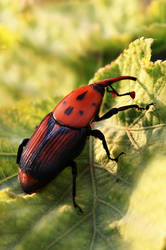 Palm weevil by sadiqalkhater