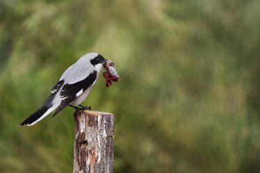 Grey Shrike by sadiqalkhater