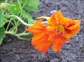 july y06 - flower by RikardaJ