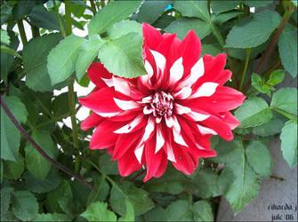 july y06 - flower 2 by RikardaJ