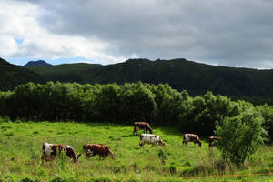 Cattle by barsknos