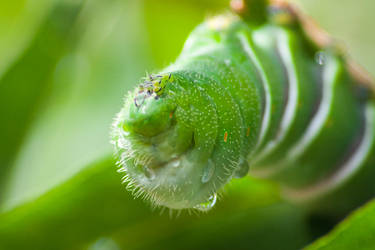 caterpillar by naihtsirk