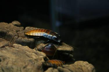 madagascar cockroach by naihtsirk