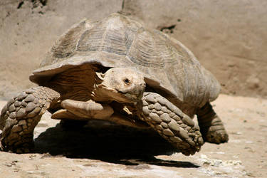 tortoise by naihtsirk